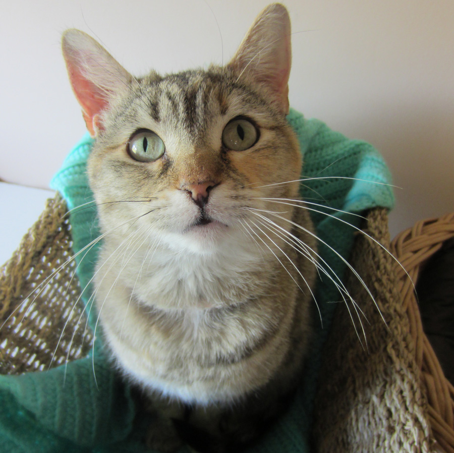 Agatha is one of many cats who need homes. Contact the SPCA Montérégie: 450-460-3075, spcamonteregie.com.