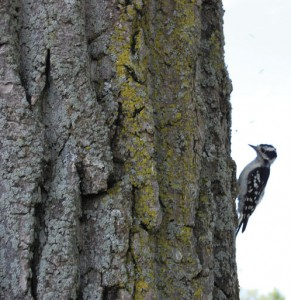 Tap artist: A Downy woodpecker 