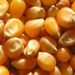 Look for popping corn in bulk or health food stores. You want good-sized, relatively fresh, round kernels. (Photo by Andrew Butko)