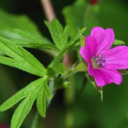 A cut-leafed Crane's-bill. (Photo: DAlvesgaspar, Wikimedia Commons)