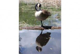 Canada geese have the potential to become  emotionally attached to humans who care for them. (Photo by Hayley Juhl)
